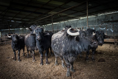 Fehmi Özsüt's water buffalo, photo by Monique Jaques