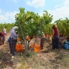 A Revived Grape Harvest in Thrace